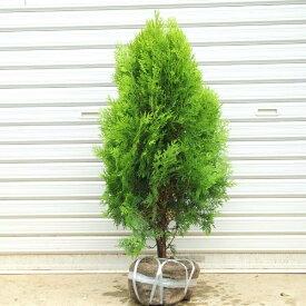 送料無料 庭木:コニファー(コノテヒバ)