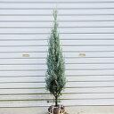 庭木:コニファーウィチッタブルー (ウィッチッタブルー)*樹高:100cm