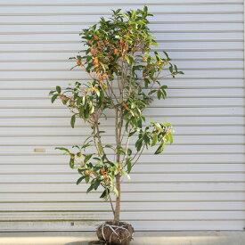 ☆送料無料☆ 庭木:金木犀(キンモクセイ)*(根巻き) 樹高:約100cm