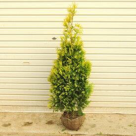 庭木:コニファー(ヨーロッパゴールド)* 樹高:約120cm 全高:約140cm ヤマト便大型商品発送!