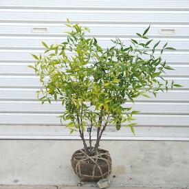庭木:白南天(なんてん)