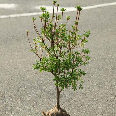 庭木:ドウダンツツジ