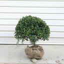 庭木:マメツゲ(玉作り)たまつげ* ☆当店人気トップクラスの商品です!