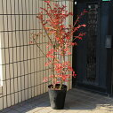 ☆送料無料☆ 庭木:錦木(ニシキギ)* 鉢植え  桃色の圧倒的な紅葉! SGW大型商品発送!