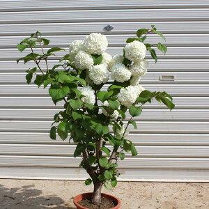 送料無料 良品!庭木:オオデマリ 極太! (ポット植え)*お花終了しました。