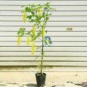 庭木:キングサリ(黄花藤・キバナフジ・ゴールデンチェーン)大株
