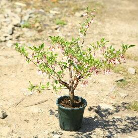 庭木:赤花エゴノキ(ピンクチャイム)