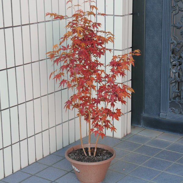☆送料無料☆ 庭樹盆栽:山もみじ(ヤマモミジ)寄せ* 紅葉の代表樹!