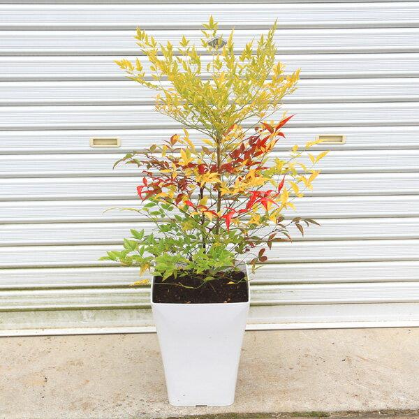 厄除けに!玄関前定番の樹!☆送料無料☆ 庭樹盆栽:紅白南天(鉢植え)*