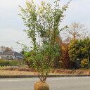 送料無料! 庭木:ハイノキ(はいのき)  常緑樹 シンボルツリー* 樹高140cm 全高:150cm ヤマト便大型商品発…
