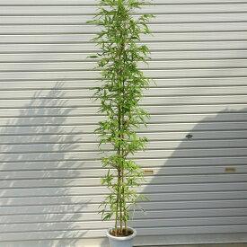 庭木:ホテイチク(布袋竹)*(ポット植え) 樹高:約120cm 全高150cm ヤマト便(大型商品)発送!
