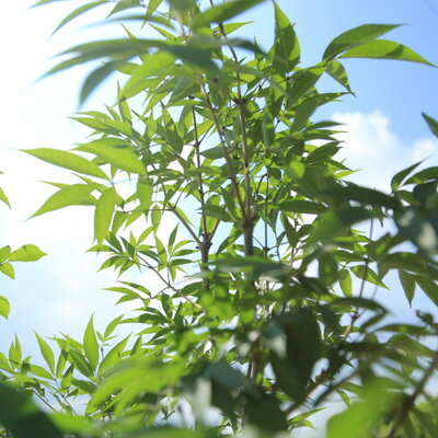 ☆送料無料☆庭木:アオダモ(コバノトネリコ)樹高150cm全高170cm
