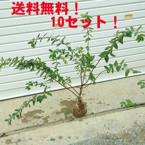 ☆送料無料☆ 庭木:キンシバイ(金糸梅)根巻き 樹高:50-60cm 10本セット!