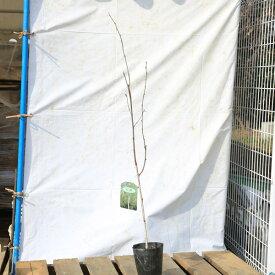 苗/庭木苗:シラカバ(白樺)しらかば ジャクモンティ—* 樹高:約100cm