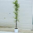 庭木:黒竹(くろちく)* 樹高:100cm 全高120cm