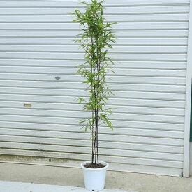 送料無料 庭木:黒竹(くろちく)* 樹高:100cm 全高120cm