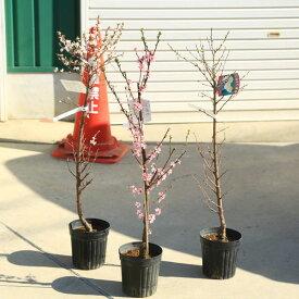 庭木:ゆすら梅(ユスラウメ)梅桃、山桜桃梅