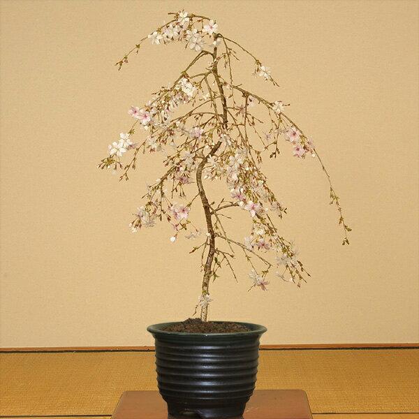 盆栽:しだれ桜(富士桜)瀬戸焼黒釉深鉢*【送料無料】2018年葉姿でお届け
