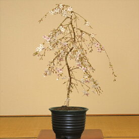 盆栽:しだれ桜(富士桜)瀬戸焼黒釉深鉢*【送料無料】【開花終了】