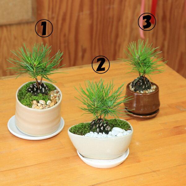 ミニ盆栽:松ぼっくりん(黒松)(モダン鉢)(受皿付)*【送料無料】鉢選べます!