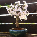 桜盆栽:特選吉野桜(大)(よしのさくら)(染井吉野)*【2019年開花終了】【あす楽対応】【さくら盆栽】