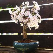 桜盆栽:特選吉野桜