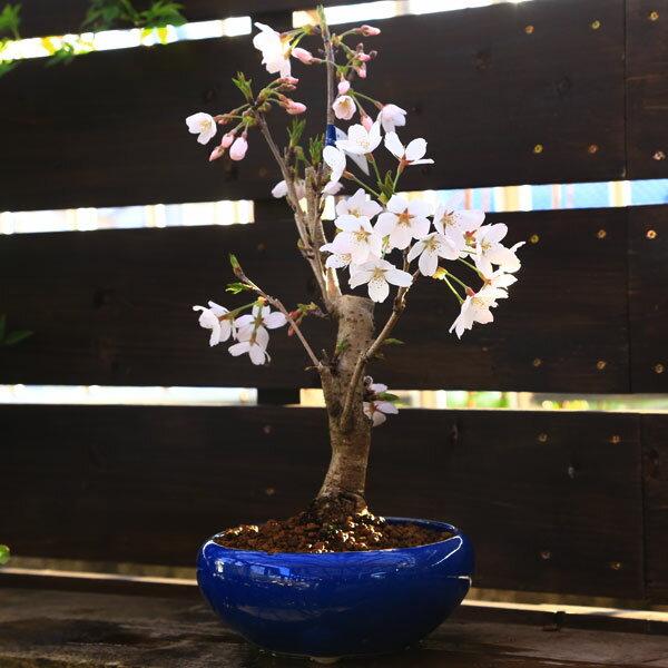 桜盆栽:特選染井吉野桜(瀬戸焼青鉢)*【あす楽対応】【さくら盆栽】【春開花】