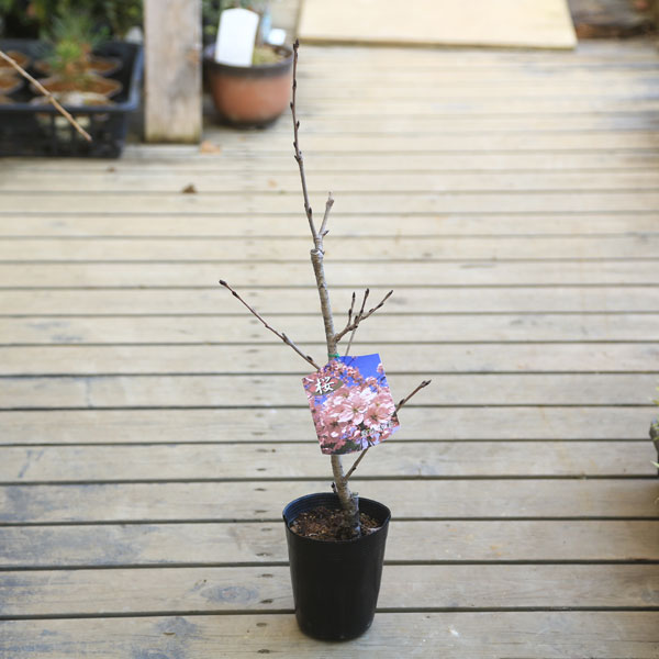 立派な桜の木になります! 桜素材・庭木苗:桜の苗木*(染井吉野・楊貴妃・陽光桜・一重寒緋・天の川・ウコン・関山・虎の尾・など!)