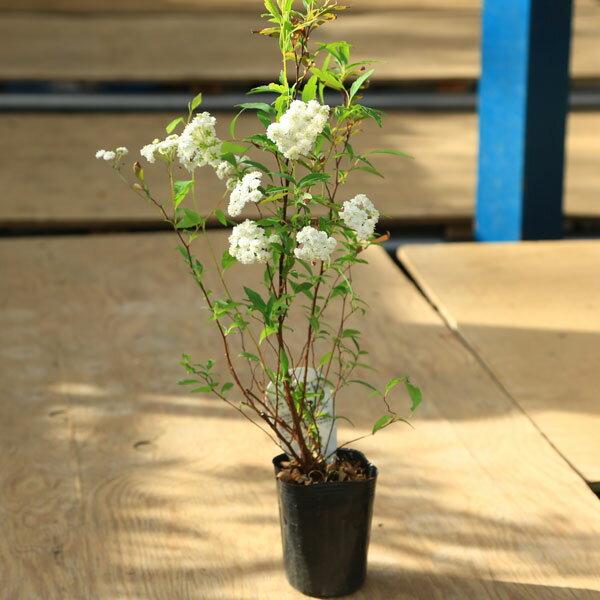 苗:八重咲きコデマリ(こでまり)