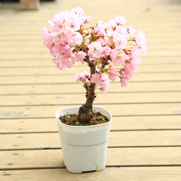 盆栽素材:一才桜(さくら)プラポット*【あす楽対応】【ぼんさい ボンサイ】【さくら盆栽】