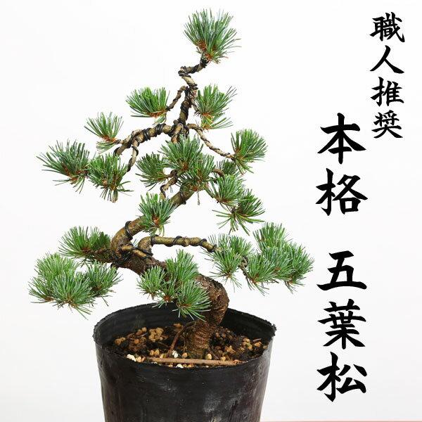 特選苗・植木:五葉松(ごようまつ)*黒ポット 本格派の五葉松の苗が登場です。