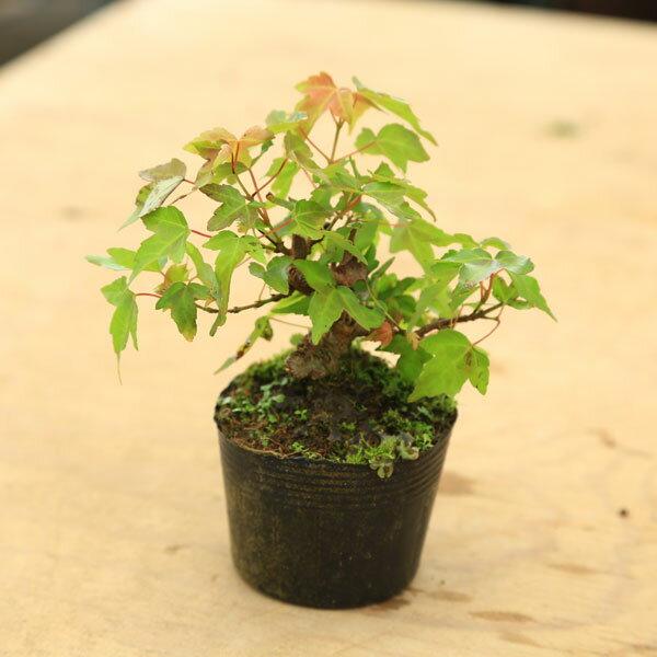 苗・盆栽苗:小葉性楓(かえで) 盆栽向きカエデ 苗