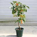 庭木・植木苗:千成柿(せんなりがき)*鑑賞柿の最高品種!