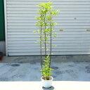 庭木:黒竹(くろちく) 樹高:70-80cm