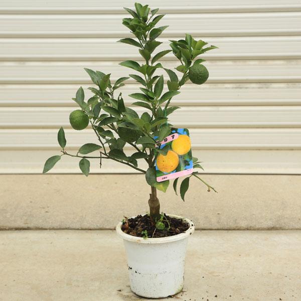 家庭果樹:花ゆず(ハナユズ/ハナユ)*花柚子