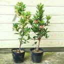 庭木苗:イチゴの木(ストロベリーツリー) 4号ポット赤花or白花