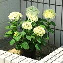庭木・鉢花:白アジサイ(アナベル)*良品 プラスチック鉢! ※お花が終了につき剪定してのお届けとなります。