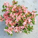 庭木:久留米つつじ/クルメツツジ ひのでのくも(日ノ出の雲)*白とピンクのかわいい絞り咲き