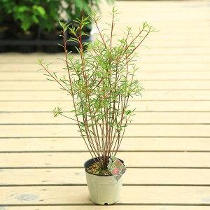 庭木苗:柳葉ドウダンツツジ(ヤナギバドウダンツツジ)*細長い葉の珍しい品種!