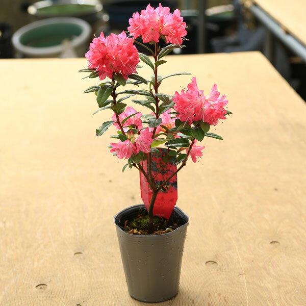 庭木 苗:常緑ロードデンドロン(ときめき)シャクナゲ