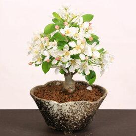【父の日ギフト】小品盆栽:姫りんご*(瀬戸焼変形鉢)【送料無料】