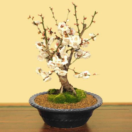 盆栽:白梅*【ぼんさい】【ボンサイ】