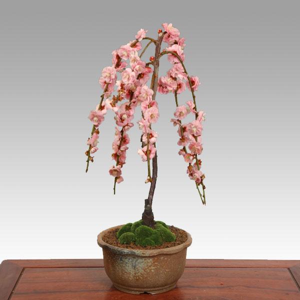 盆栽:しだれ梅 (瀬戸焼梅鉢)*