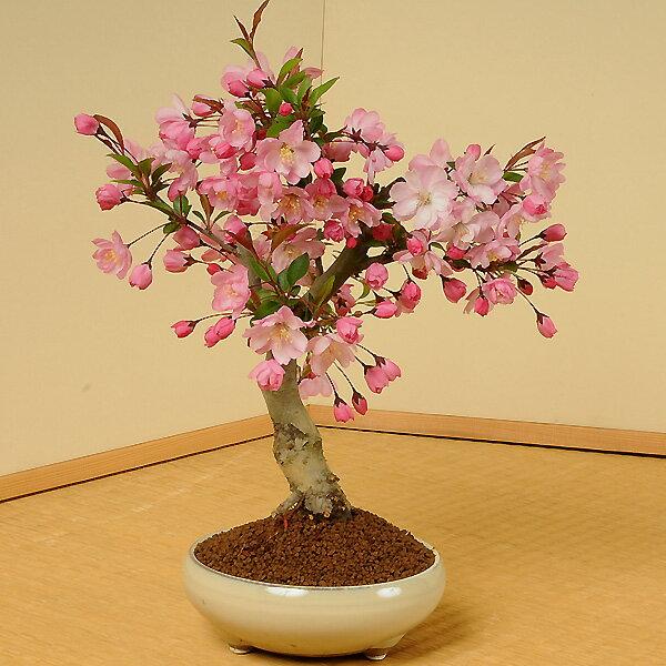 盆栽:垂糸(すいし)かいどう桜*【2018年葉姿でお届け】