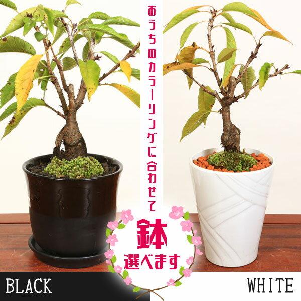 桜盆栽:鉢が選べる一才桜大(旭山桜)*【送料無料】【さくら盆栽】