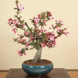 ◇楽天1位◇盆栽:特選極太すいしかいどう桜(緑丸鉢)*【開花終了】