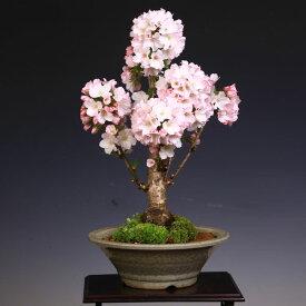 ◇楽天1位◇桜盆栽:御殿場桜(萬古焼白鉢)*【開花終了】 【送料無料】
