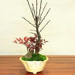 【あす楽対応】盆栽:紅梅・南天寄せ(信楽焼鉢)*【2021年開花終了】【送料無料】