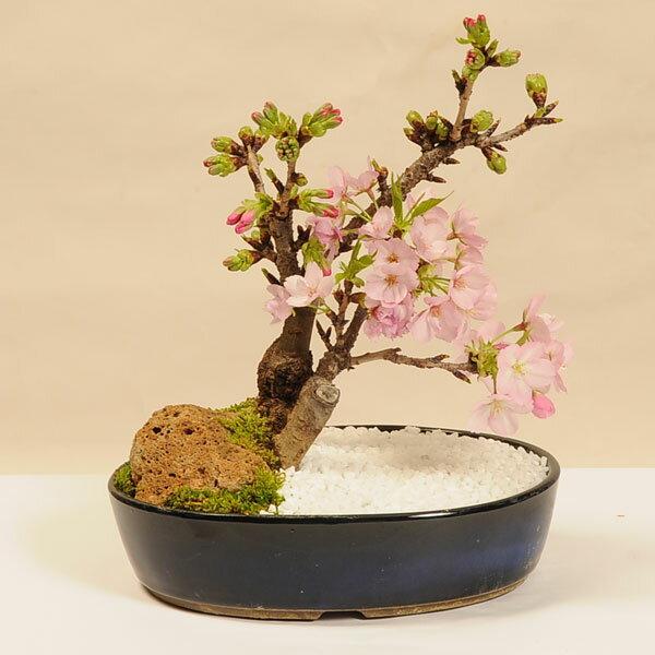 桜盆栽:旭山桜 景色盆栽*【送料無料】