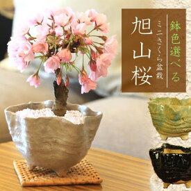 桜盆栽:鉢色選べるミニ一才桜(信楽花型小鉢)*【2021年開花】自宅でお花見